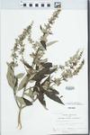 Vitex agnus-castus L. by John E. Ebinger