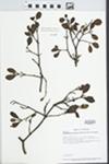 Phoradendron leucarpum (Raf.) Reveal & M.C. Johnston by Loy R. Phillippe