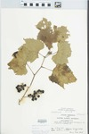 Vitis riparia Michx. by Kathleen Andrews