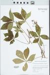 Parthenocissus quinquefolia (L.) Planch. by Kerry Barringer