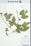 Ampelopsis brevipedunculata (Maxim.) Trautv. by Kerry Barringer