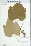 Vitis labrusca L. by Kerry Barringer