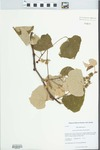 Vitis labrusca L. by Kerry Barringer and Jinshuang Ma