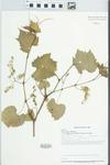 Vitis riparia var. syrticola (Fernald & Wiegand) Fernald by Dan Busemeyer, John E. Ebinger, William McClain, and Loy R. Phillippe