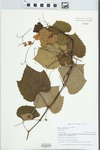 Vitis aestivalis F.Michx. by Gordon C. Tucker and Edwin H. Horning