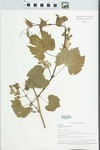 Vitis riparia Michx. by Loy R. Phillippe, Geoffrey A. Levin, and Kenneth R. Robertson