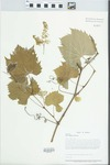 Vitis riparia Michx. by Loy R. Phillippe, Paul B. Marcum, and Richard L. Larimore