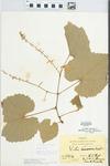 Vitis aestivalis F.Michx. by Hiram Frederick Thut, J. T. McGinnis, and Frank Pixley