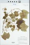 Parthenocissus tricuspidata (Siebold & Zucc.) Planch. by Leslie J. Mehrhoff