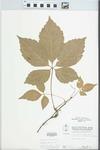 Parthenocissus quinquefolia (L.) Planch. by W. Pichon and H. Parker