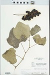 Vitis aestivalis F.Michx. by Parker, McClain, and Pichon