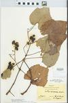 Vitis aestivalis F.Michx. by Hiram Frederick Thut and R. Pippen