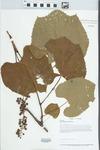 Vitis aestivalis F.Michx. by Loy R. Phillippe and John B. Taft