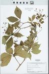 Parthenocissus vitacea (Knerr) A.S. Hitchc.
