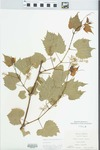 Vitis riparia Michx. by Virginius H. Chase