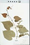 Vitis vulpina L. by Virginius H. Chase