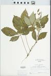 Parthenocissus quinquefolia (L.) Planch. by Larry Dennis