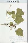 Ampelopsis cordata Michx.