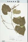 Vitis vulpina L. by John E. Ebinger