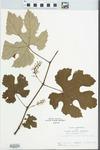 Vitis labruscana L.H. Bailey by John E. Ebinger