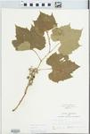 Vitis riparia Michx. by John E. Ebinger
