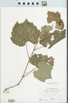 Vitis rupestris Scheele by John E. Ebinger