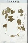 Vitis palmata Vahl by John E. Ebinger
