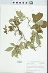 Parthenocissus quinquefolia (L.) Planch. by John E. Ebinger
