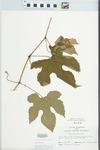 Vitis aestivalis F.Michx. by John E. Ebinger