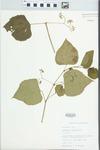 Ampelopsis cordata Michx. by Bob Edgin