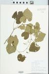 Vitis vulpina L. by Bob Edgin
