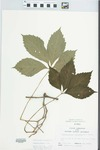 Parthenocissus quinquefolia (L.) Planch. by John H. Gerard