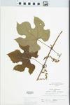 Vitis aestivalis F.Michx. by John H. Gerard