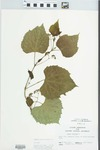 Vitis vulpina L. by John H. Gerard
