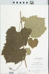 Vitis riparia Michx. by John H. Gerard