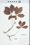 Parthenocissus quinquefolia (L.) Planch. by Mary C. Hruska