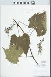 Vitis vulpina L. by W. E. McClain