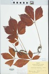 Parthenocissus quinquefolia (L.) Planch. by Bart Moore