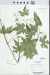 Ampelopsis brevipedunculata (Maxim.) Trautv. by Gerry Moore