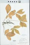 Parthenocissus quinquefolia (L.) Planch. by S. C. Mueller