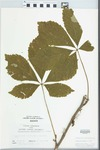 Parthenocissus quinquefolia (L.) Planch. by R. W. Nyboer