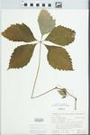 Parthenocissus quinquefolia (L.) Planch. by H. M. Parker