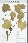 Vitis riparia Michx. by Loy R. Phillippe