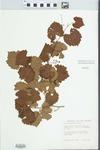 Vitis rotundifolia Michx.
