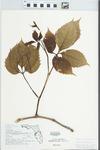 Parthenocissus quinquefolia (L.) Planch. by Roger T. Poole
