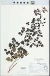 Ampelopsis arborea (L.) Koehne