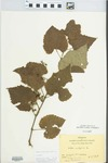 Vitis vulpina L. by Hiram Frederick Thut