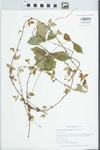 Parthenocissus quinquefolia (L.) Planch.