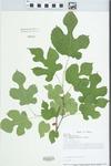 Morus alba L. by Loy R. Phillippe and John E. Ebinger