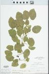 Morus alba var. tatarica (L.) Ser. by John E. Ebinger